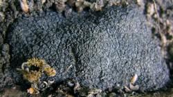 Trüffel (tuber melanosporum) an seinem Fundort