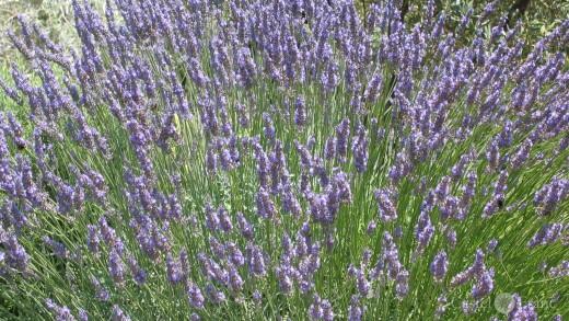"""Lavendelstrauch am """"Mas de la Lause"""" in Le Barroux"""