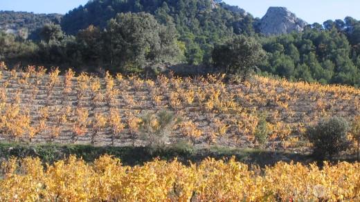 herbstliches Weinfeld bei den Dentelles de Montmirail, Südfrankreich, Provence