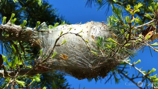 Prozessionsraupen in der Provence, Larven im Nest