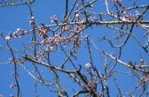 Kirschenblüten vor dem blauen Himmel der Provence, von: Castel Franc