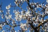 Mandelblüte vor dem blauen Himmel der Provence, by: Castel Franc