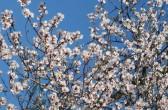 Mandelblüte in Velleron/ Provence